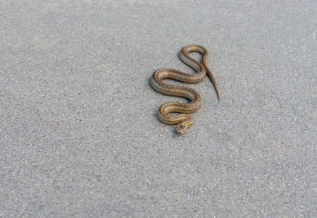 coldblooded: Cold-blooded viper is warming body on an warm asphalt