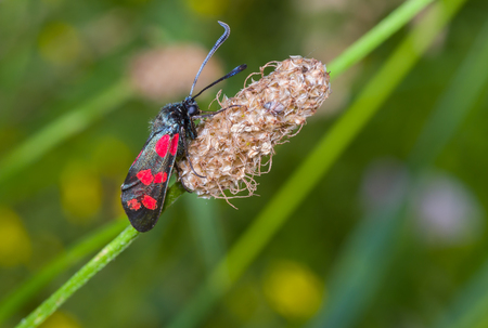 zygaena: Zygaena filipendulae butterfly on a summer wild plant Stock Photo
