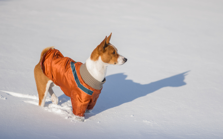 dudando: African dog basenji hesitating play when it see so much snow