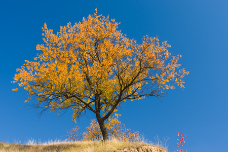 is cloudless: Beautiful branchy apricot tree on a hill against blue cloudless sky at autumnal season