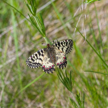 festoon: Southern Festoon (Zerynthia polyxena) butterfly in its habitat