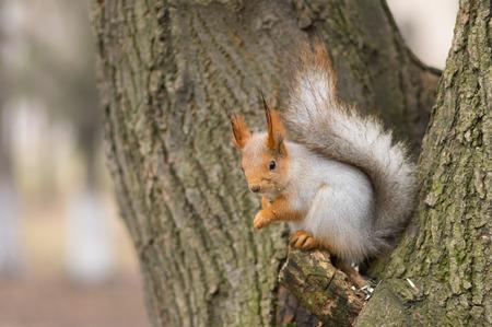 girasol: Eurasia ardilla roja que se sienta en un árbol y esperar a la siguiente porción de semillas de girasol