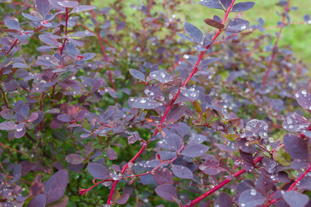 barberry: Shrub of barberry after rain at summer season