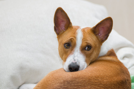 counterpane: Basenji dog having rest on a sofa Stock Photo