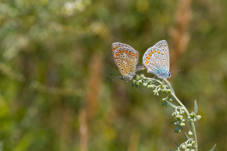 coupling: Coupling act in family of Common Blue (Polyommatus icarus) butterfly Stock Photo