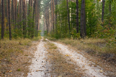 earth road: Empty earth road to evening pine forest Archivio Fotografico