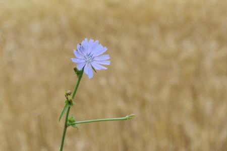 chicory flower: Beautiful chicory flower against yellow natural background Stock Photo