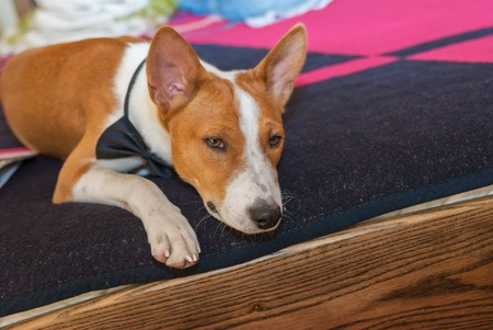 ennui: Bored basenji dog lying at the bed and waiting for the master
