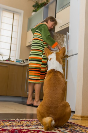 servant: Patient basenji is waiting till servant cook his lunch Stock Photo