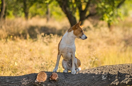 Portrait of wild Basenji dog - troop leader on the tree branch