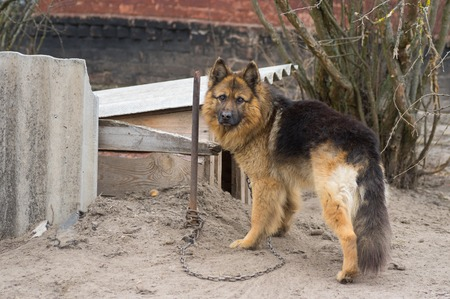 kennel: Cute country dog attached with short chain to its kennel