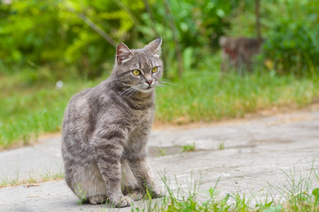 timorous: Outdoor portrait of guarded tabby cat with yellow eyes