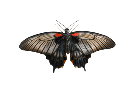 forewing: Female of Great mormon (Papilio memnon) butterfly isolated on a white background