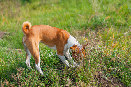 burrow: Basenji hunting for rodent in burrow