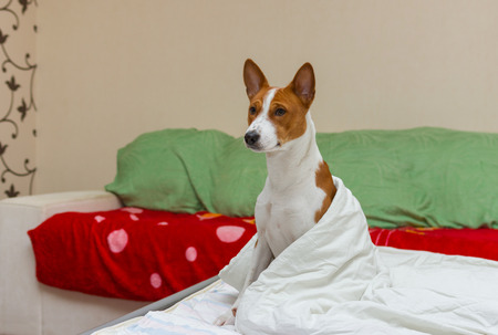 episode: Morning episode in bedroom of cute basenji dog Stock Photo