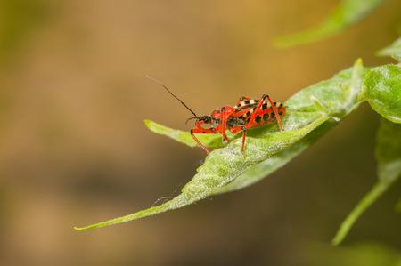 assassin: Specimen of Assassin bug (Reduviidae) sitting on a fresh leaf
