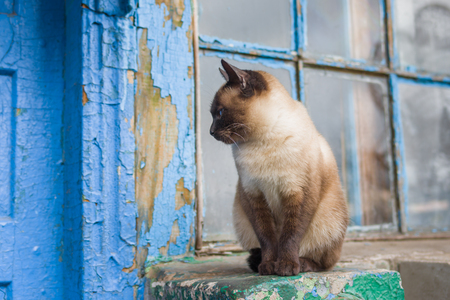 blue siamese cat: Graceful Siamese cat with blue eyes sitting at the doorway