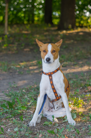 sitting on the ground: Brave Basenji dog sitting on the ground and looking in masters eyes (shallow dof)