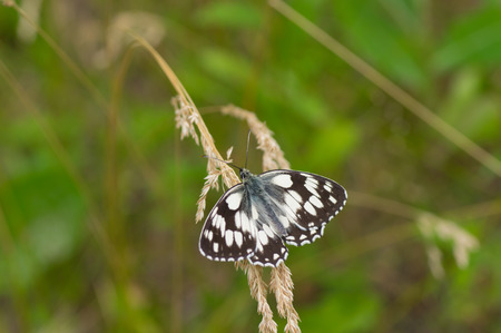 grizzled: Grizzled skipper butterfly sitting on a summer wild plant