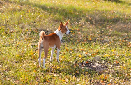 brawny: Cute Basenji dog in an autumnal park waiting for the master