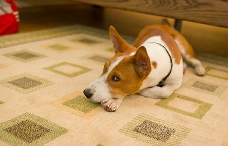 ennui: Indoor portrait of boring basenji dog lying at the floor Stock Photo