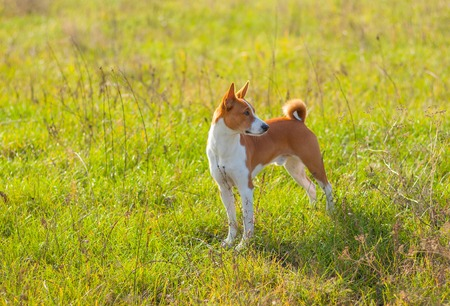 brawny: Cute Basenji dog in an autumnal park standing in graceful pose Stock Photo