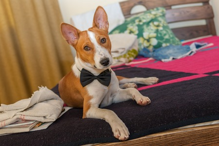ennui: portrait of cute basenji dog lying at the bed Stock Photo