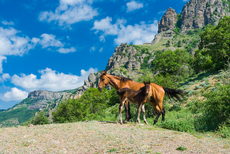 yegua: Mare and colt on a spring pasture in Crimean mountains Foto de archivo
