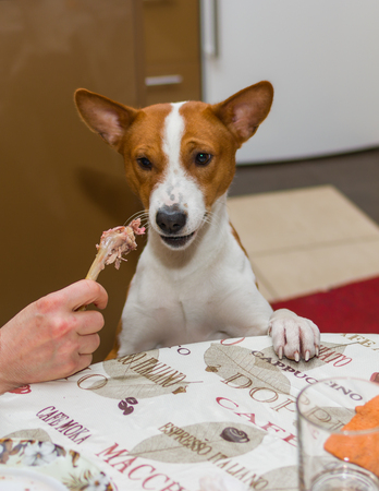 indecisive: Portrait of indecisive basenji dog at dinner table Stock Photo