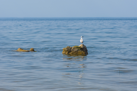 dnepr: Lonely Caspian gull on a rock in Kakhovka Reservoir located on a Dnepr River, Ukraine