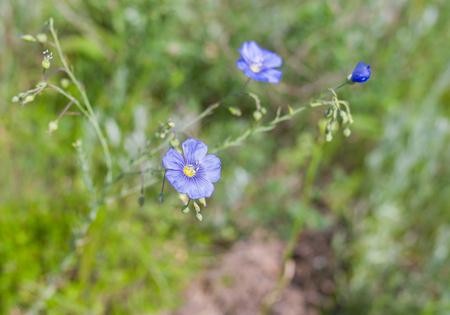 linum: Wild linum (flax) flower at early summer season