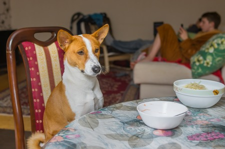 dining room: Cute Basenji is patiently waiting for the master-waiter would place true canine food on the table