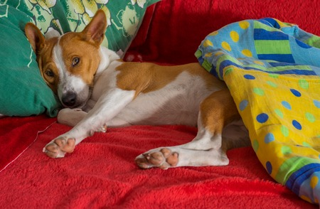 counterpane: Cute basenji having siesta on favorite place in the bed