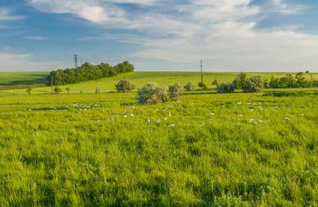 an invasion: Ukrainian rural landscape with goose invasion