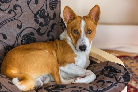 counterpane: Cute basenji having rest on its favorite place in the chair
