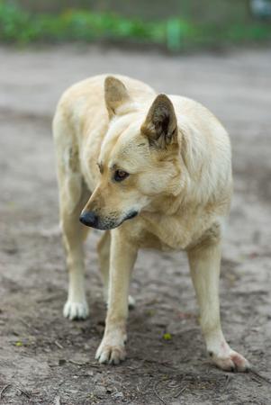 HESITATE: Portrait of street dog hesitate to attack