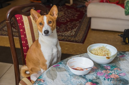 canine: Cute Basenji wonders when master is going to place true canine food on the table Stock Photo