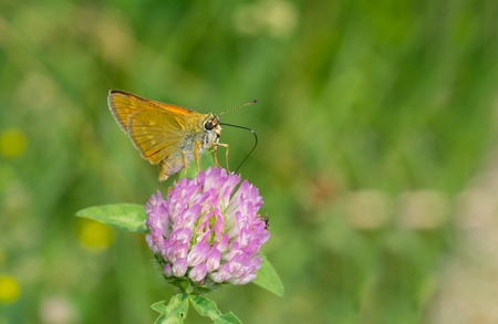 sucking: Skipper (Hesperiidae) butterfly sucking nectar on flowering wild clover Stock Photo