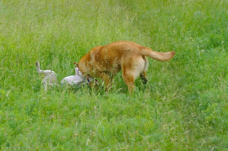 small dog: Two dogs fighting in spring grass. One is basenji, another - half-breed. Stock Photo