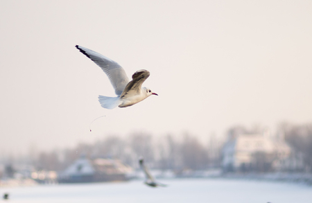 defecating: Gull defecating in winter fly