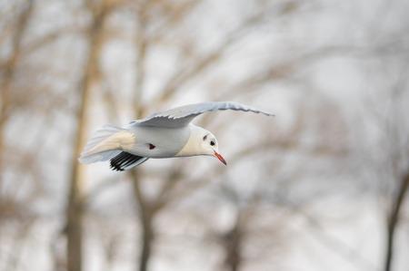 graceful: Graceful gull in winter fly Stock Photo
