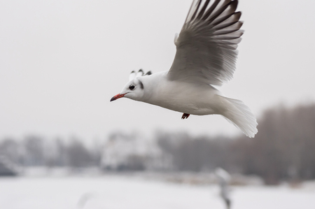 dnepr: Graceful gull in fly over Dnepr river at winter season Stock Photo