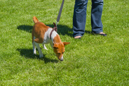 strains: Basenji strains dogs lead trying to find something in grass
