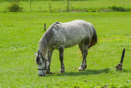 dappled: Dappled mare grazing fresh herbs on a spring pasture
