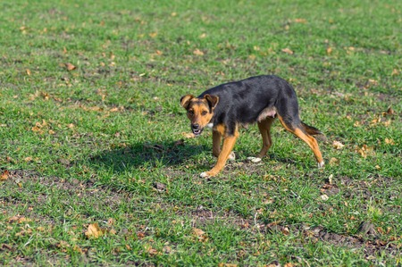 female dog: perra perdida (madre lactante) tratando de defender propio territorio Foto de archivo