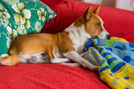 counterpane: Basenji having rest on a favorite place on the bed  and dream about freedom somewhere in Africa