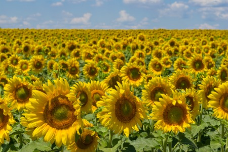 masses: Masses of sunflowers on Ukrainian agricultural field at June