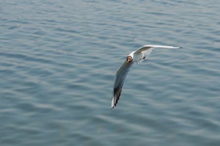 feathering: Black-headed gull making flight over Dnepr river in Ukraine Stock Photo