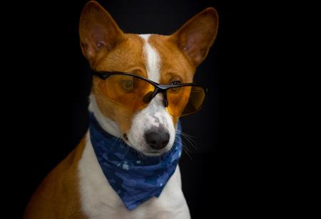 kerchief: Low key portrait of  stylish basenji dog wearing yellow glasses and blue kerchief