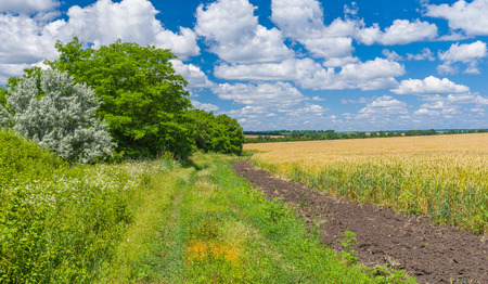 ox eye: Ukrainian summer landscape with country road and planting on the edge of wheat field